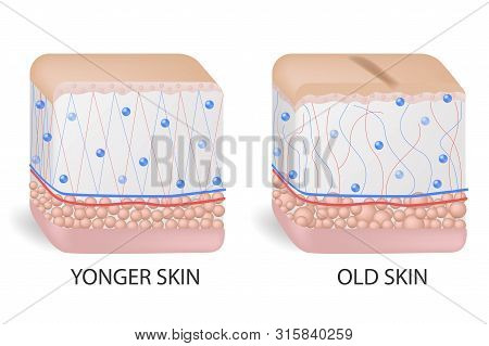 collagen and elastine. Younger and older skin. Visual representation of skin changes over a lifetime. Collagen and elastin form the structure of the dermis making it tight and plump. Vector diagram poster