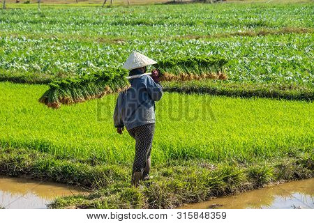 Local Villagers Working In A Rice Field In The Champasak Valley, Laos In Southeast Asia
