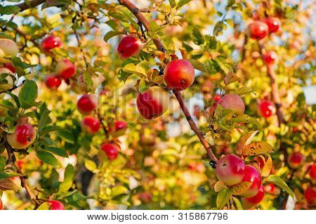 Apples Red Ripe Fruits On Branch Sky Background. Apples Harvesting Fall Season. Gardening And Harves