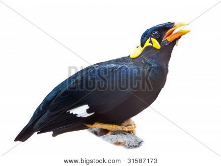 Bird_Hill Myna_perched On Tree Branch_isolated On White Background_copy Space