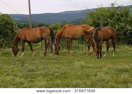 Three Horses Grazing In A Meadow Against The Mountains
