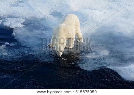 Polar Bear On An Ice Floe. Arctic Predator Polar Bear