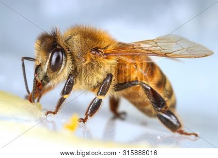 Common Honey Bee Eating Sweet Macro Close-up