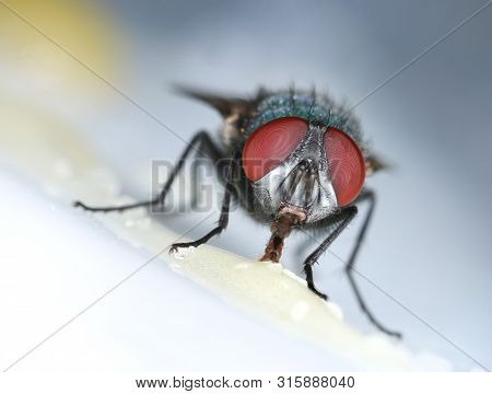 House Fly Feeding Sweet Macro Closeup On Light Grey Background