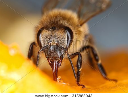 Comon Honeybee Feeding Fruit Front View Macro Close-up