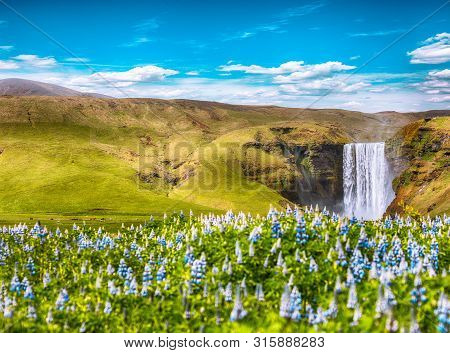 Beautiful scenery of the majestic Skogafoss Waterfall in countryside of Iceland in summer with lupine flowers on foreground. Location:  Skogafoss waterfall on Skoga river. Iceland, Europe poster