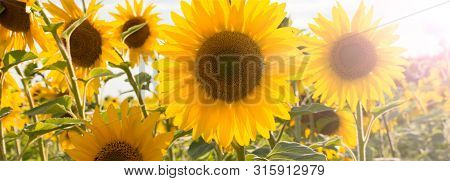 Sunflower Natural Background. Sunflower Blooming. Close-up Of Sunflower. Bright Yellow Sunflowers An