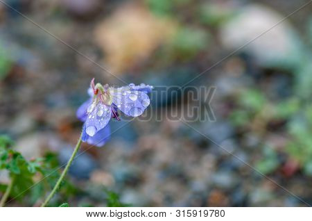 Geranium, The Purple Cranesbill, Is A Species Of Hardy Flowering Herbaceous Perennial Plant In The G