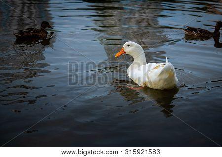 Nice Snow White Goose On Lake Nature Wild Birds Life