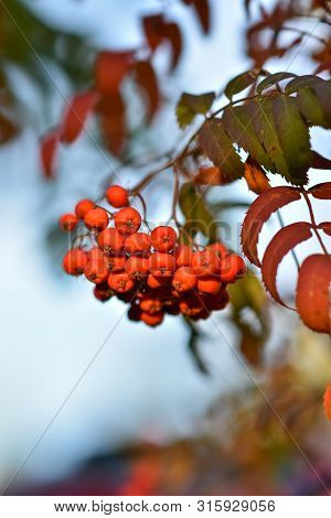 Rowan On A Branch. Rowan Berries On Rowan Tree. Sorbus Aucuparia.