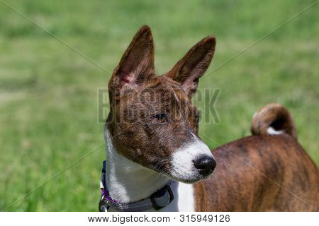Cute brindle basenji puppy is standing on a green grass. Close up. Pet animals. poster