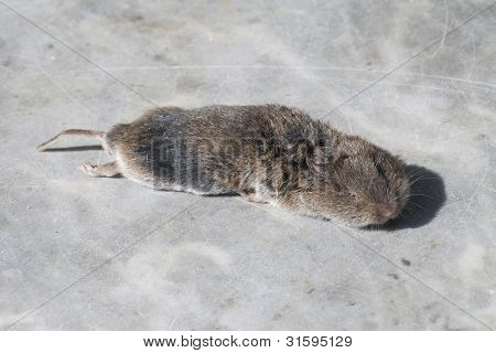 Young dead Arvicola on a marble floor poster