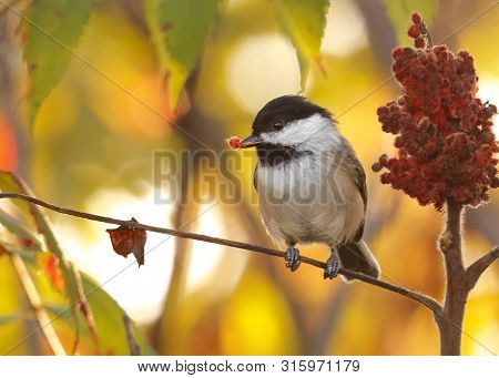 Black-capped Chickadee Perched On Sumac While Feeding On Red Berry With Glowing Golden Background.