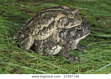 A pair of Fowler's Toads mating on damp green grass on a rainy night in the spring