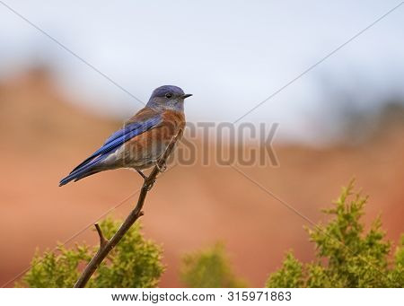 Western Bluebird Perched On Isolated Tree Branch In Arizona Desert With Soft Red Rock Formations In