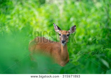White-tailed Deer Eating Leaf In Vivid Green Summer Forest.