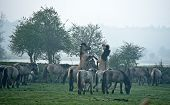 Wild horses  active in the morning mist poster