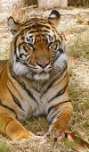 A bengal tiger laying on a grassy plain poster