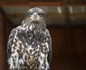 Adorable head and body of a Juvenile Bald eagle gazing into the distance poster