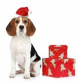 Beagle puppy with Santa hat and Christmas gifts. Isolated on a white background poster