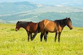 couple of horses grazing at the green grass meadow poster