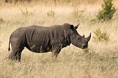 White rhino in kruger national park south africa poster