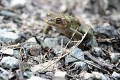 single male toad in natural environment Shallow DOF poster