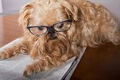 Serious dog in glasses reading the newspaper poster