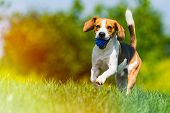 Beagle dog runs through green meadow with a ball. Copy space domestic dog concept. Dog fetching blue ball. Light leak edit poster