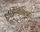 Gray Treefrog (Hyla versicolor) camouflaged against the bark of a maple tree - Ontario, Canada poster