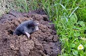 spirng mole and molehill in the garden poster