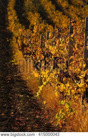 Landscape With Autumn Rows Of Vineyards. Colorful Sunny Autumn Background. Growing Grapes. Beautiful
