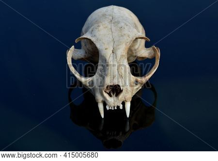 A Cat Skull On The Hood Of A Car Studies Bones Teeth From Multiple Sides. A Scary Creature In A Man\