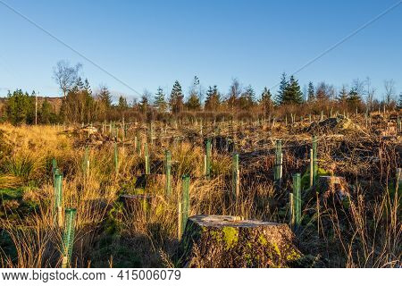Replanting An Old Deforested And Clear Felled Coniferous Forest With Broadleaf Trees In Tree Guard I