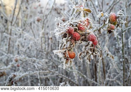 Frozen Rose Hips Covered With Hoarfrost On A Winter Morning, Against A Blurred Background Of Bush.
