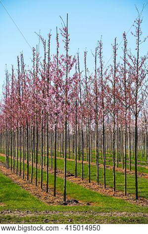 Young Cherry Trees In Blossom Growing On Plantation On Tree Nursery Farm In North Brabant, Netherlan