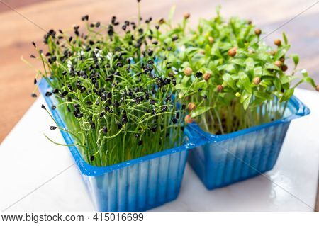 Young Sprouts Plants Of Green Chives Onion And Coriander Aromatic Herb Ready For Consumption