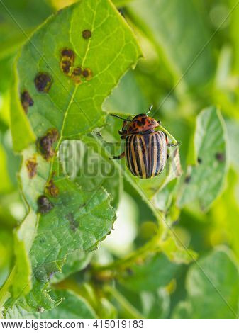 Colorado Beetle Sitting On A Pitted Potato Leaf. Close-up. A Bright Vertical Illustration About Inse