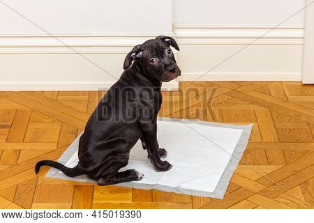 An American Pit Bull Terrier Puppy Sits On A Clean Diaper Spread On The Floor And Looks At The Camer