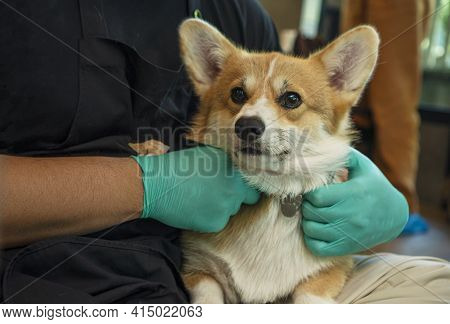 Adorable Brown Welsh Corgi Sitting On Owner Lab With Hands Wear Glove While Learning Something And L