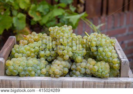 New Harvest Of White Sweet Chardonnay Grapes On Grand Cru Vineyards Near Epernay, Region Champagne,