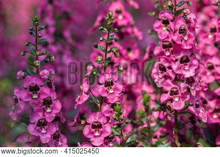 Angelonia In Spring, Spring Background. Spring Composition, Spring Card, Colorful Spring Backgorund,