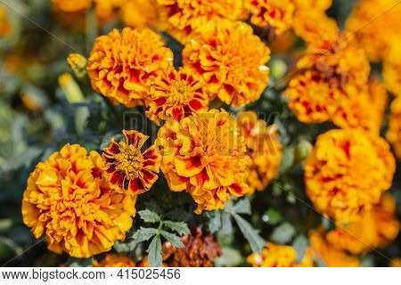 Tagetes Patula Flower. Flower In Garden. Flower At Spring Day. Colorful Flower. Flower Decoration. F