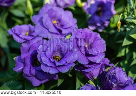 Lisianthus Flower. Flower In Garden. Flower At Spring Day. Colorful Flower. Flower Decoration. Flowe