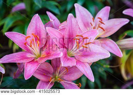 Lily Flower. Flower In Garden. Flower At Spring Day. Colorful Flower. Flower Decoration. Flower For