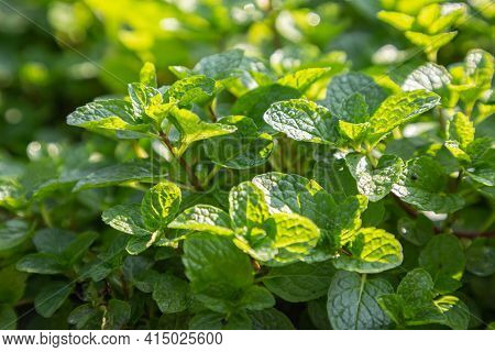 Fresh Peppermint Leaves In The Garden. Green Leaves Of Peppermint. Peppermint Leaf Texture. Peppermi