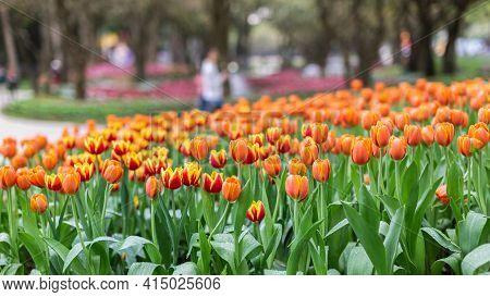Tulip Flower. Flower In Garden. Flower At Spring Day. Colorful Flower. Flower Decoration. Flower For