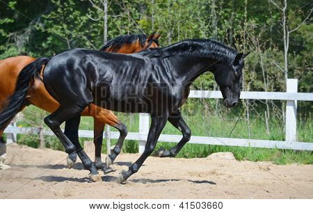 Bay stallion of Ukrainian riding breed and black stallion of Russian riding breed poster