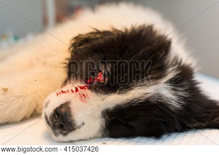 Sedated Puppy With A Bite Wound Near The Eye On The Table At The Veterinary Clinic