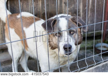 Large Dog Breed And Aggressive In His Enclosure